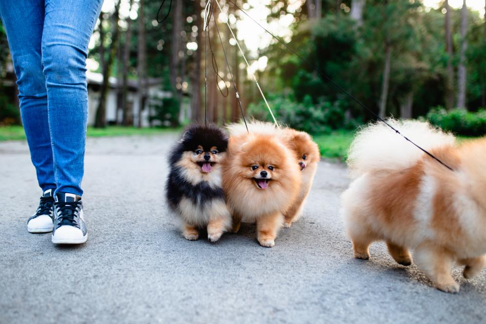 公園でポメラニアンと散歩