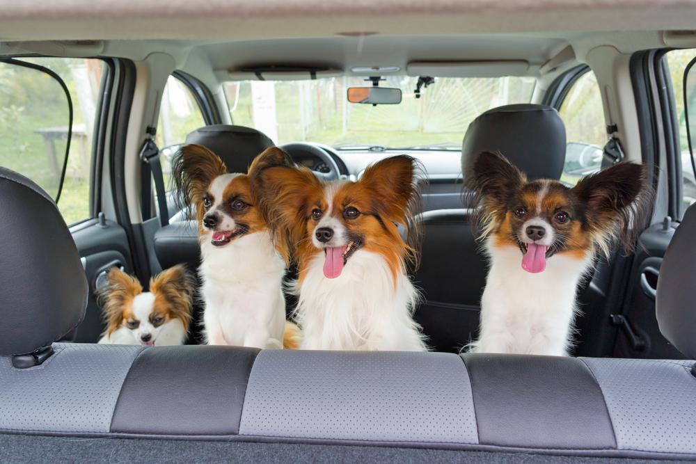 車の中の4匹のパピヨン