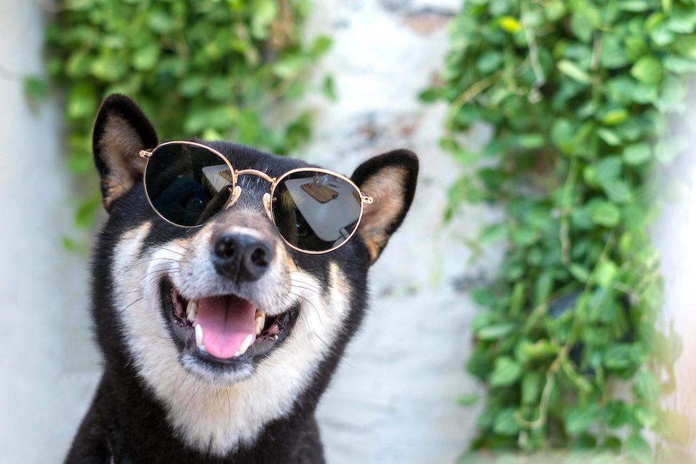 サングラスをかけた柴犬