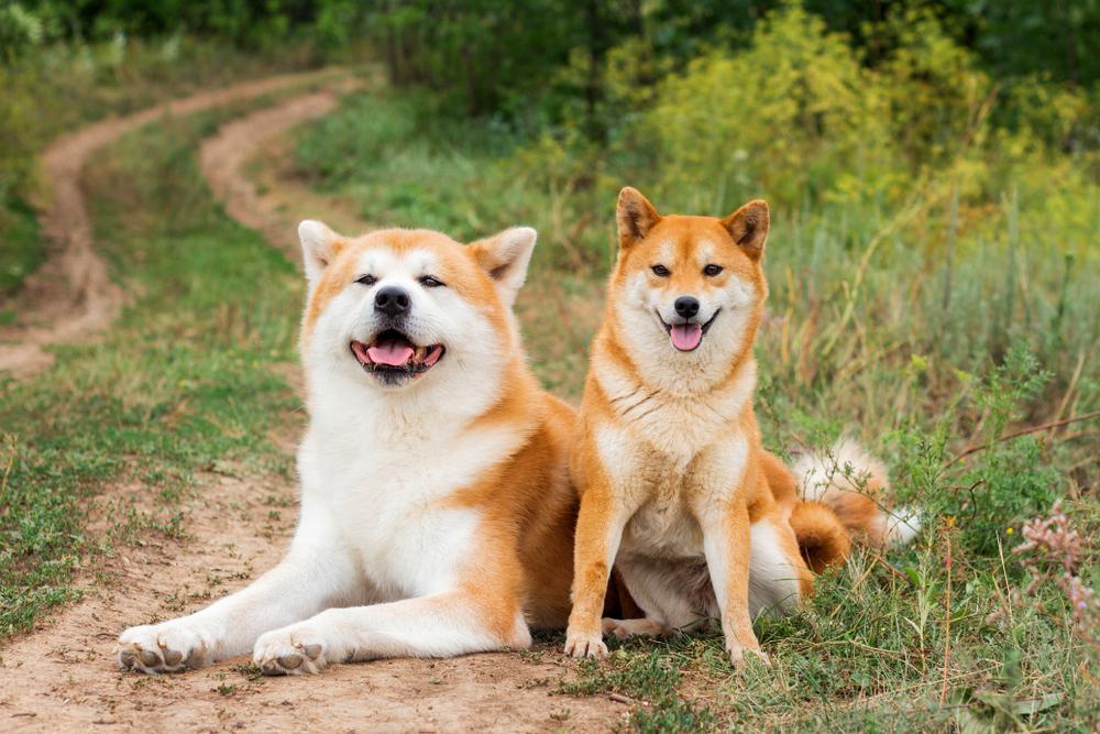 柴犬と秋田犬