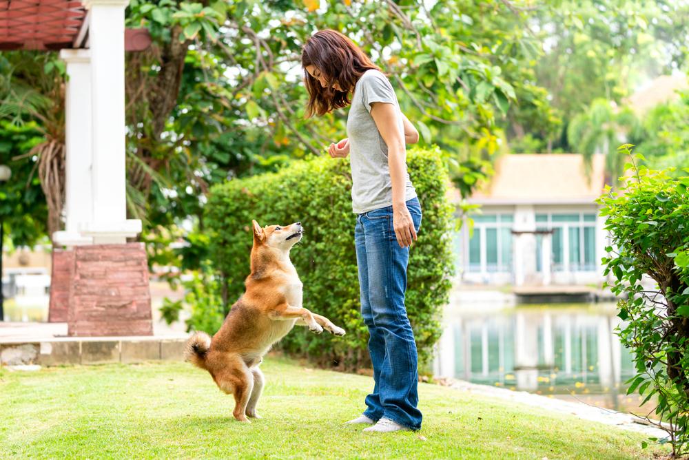 庭で飼い主と遊ぶ柴犬