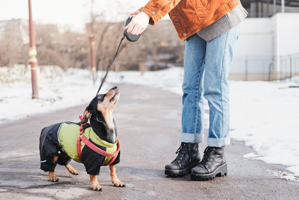 服を着たダックスフンドと散歩してる飼い主
