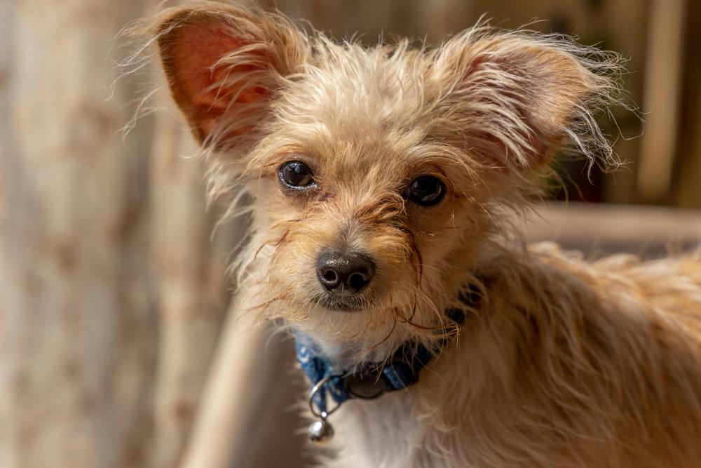 チワワとプードルのミックス犬