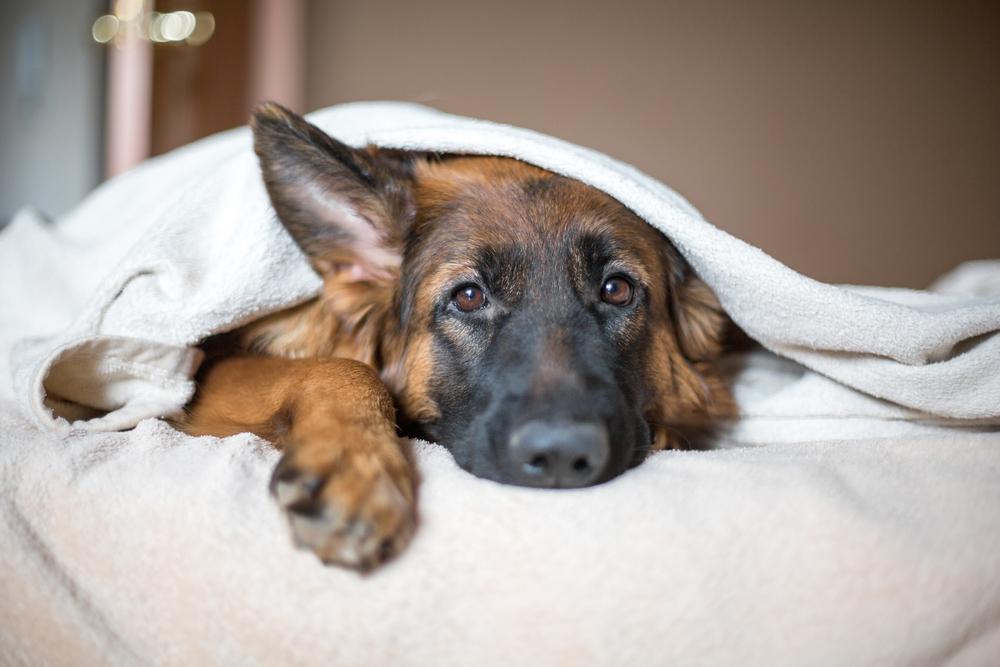 ベッドで寝そべるシェパード