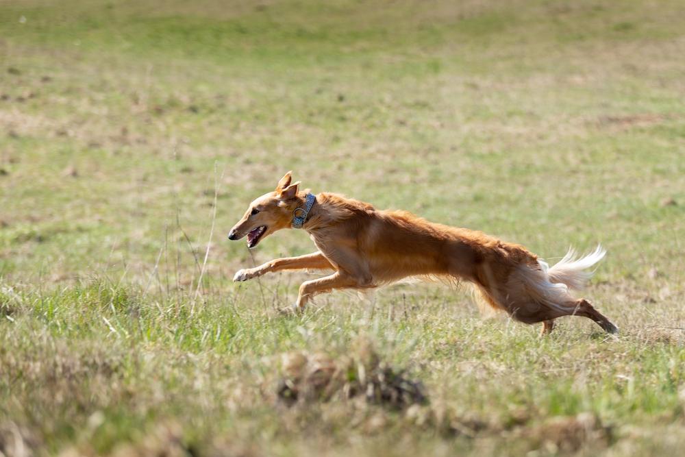 草原を走り回るボルゾイ